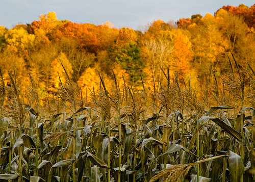 Corn and Color