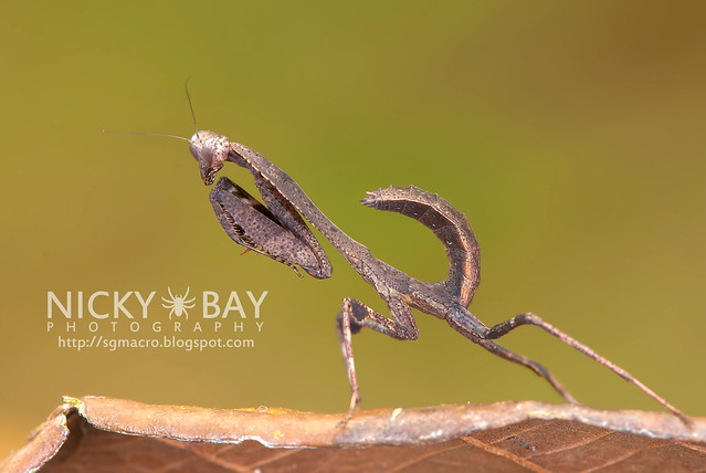 Dead Leaf Mantis? (Deroplatys sp.?) - DSC_2291