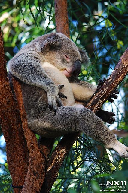 WILD LIFE Sydney Zoo koala bear