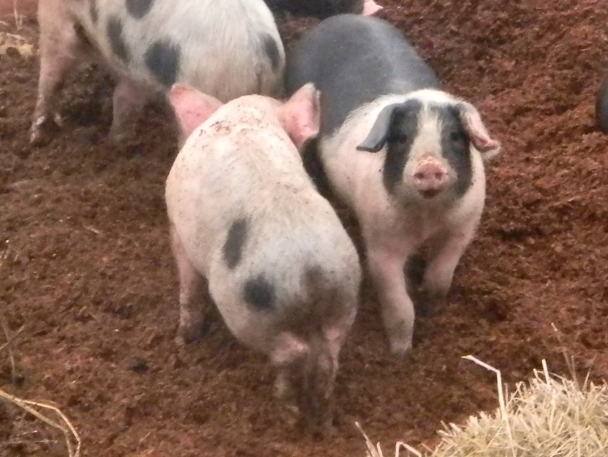 Happy pigs Otford to Eynsford You can guess what theyre rooting round in