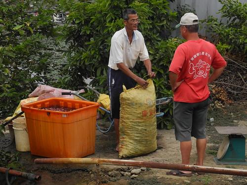 農民將菱角裝袋,送上貨車,分送到全國。