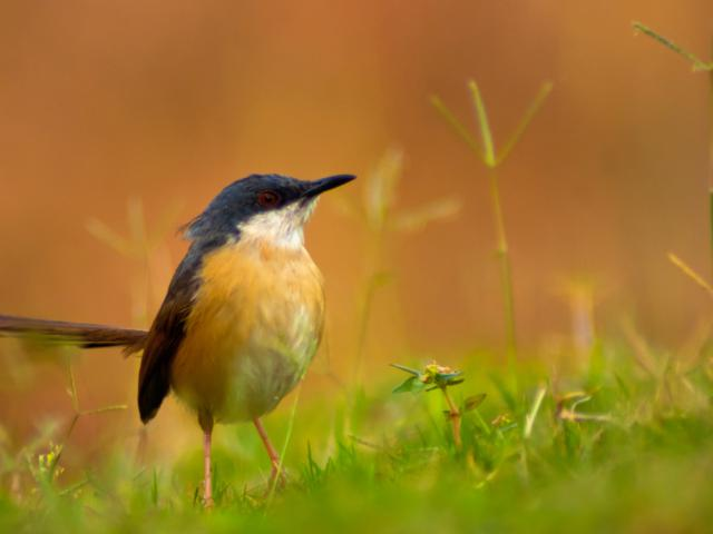 Ants Eye View of an AshyPrinia by AshwinGokhale, Pune, India