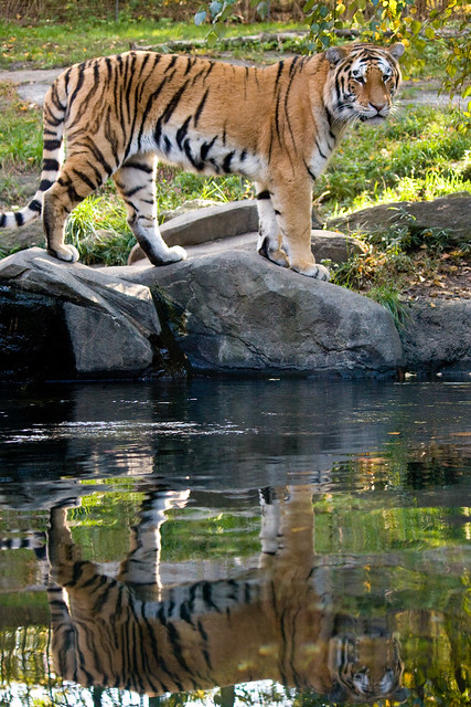 Tiger, Bronx Zoo