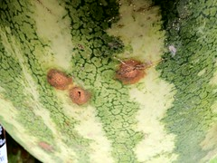 Anthracnose on watermelons