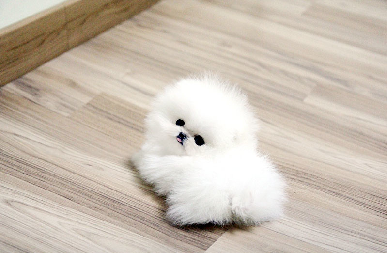 White Teacup Pomeranian Puppies White teacup pomeranian white