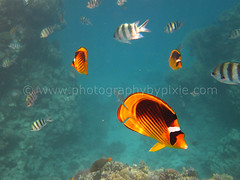 Yellow and Black Butterfly Fish and Sergent Major Fish in Egypt 2012 5