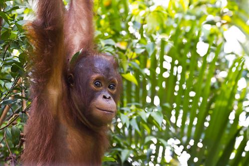 [フリー画像素材] 動物 1, 猿・サル, オランウータン ID:201211051000