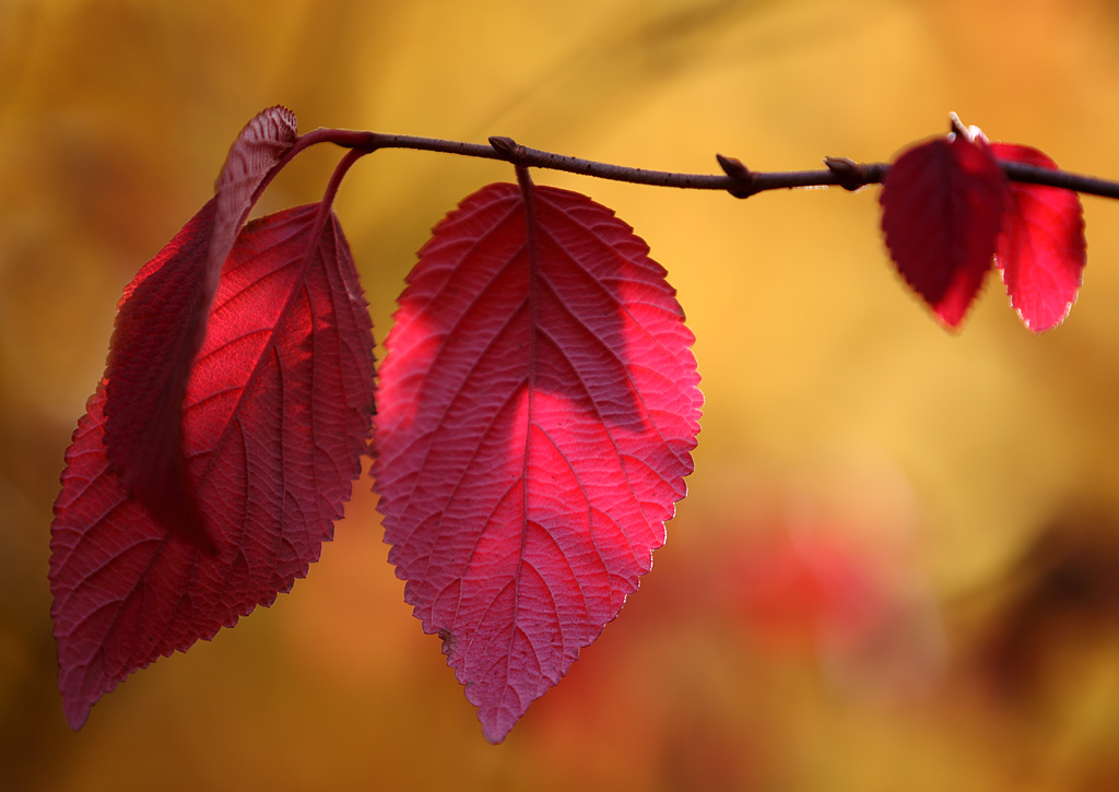 Red Autumn Leaves by Achim Mittler