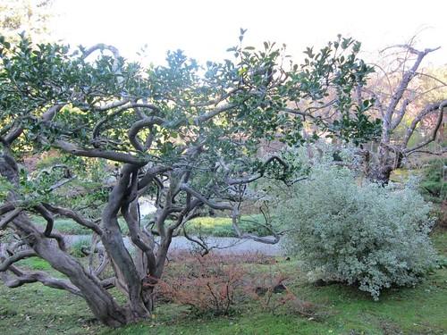 Hakone Japanese Gardens, Saratoga, CA, tree IMG_2406
