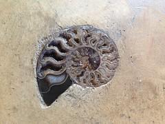 carving(0.0), invertebrate(0.0), iron(0.0), fossil(1.0),