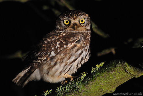 Little Owl at Keepers Warren