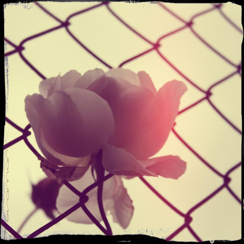 La rosa en la verja