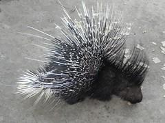 animal, porcupine, monotreme, fauna,