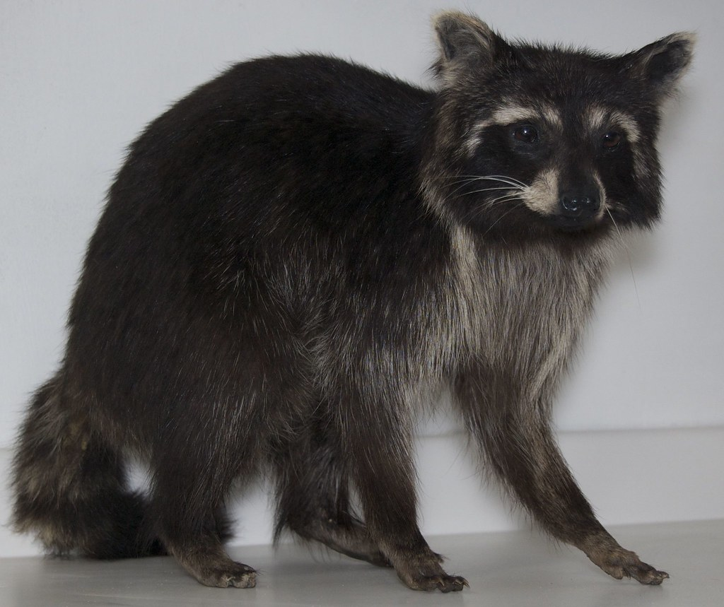 raccoon black personals The raccoon (/ r ə ˈ k uː n / or us i / r æ  in a migration that has been confirmed by the discovery of fossils in the great plains dating back to the middle of the pliocene [25]  the most characteristic physical feature of the raccoon is the area of black fur around the eyes,.