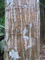 Erythrina poeppigiana?