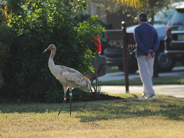 Whooping Crane 15 and pedestrian 20130205