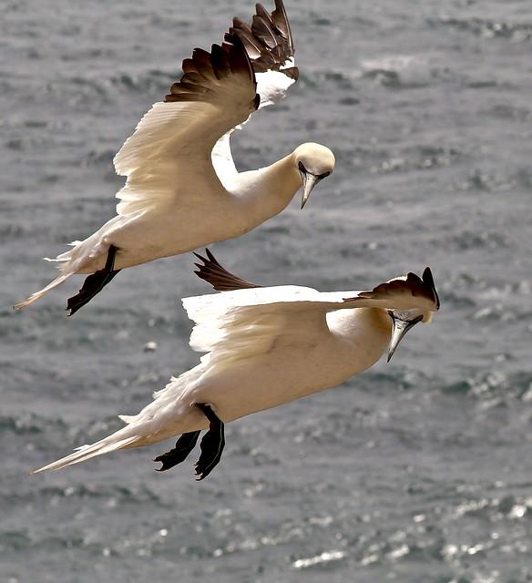 Gannets / Basstölpel