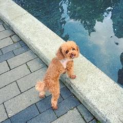 Water Dog  #dogphoto #dog #dogphotography #poodle #toypoodle