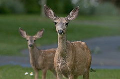 Is it safe? Mule Deer Doe and Fawn - 9038b+