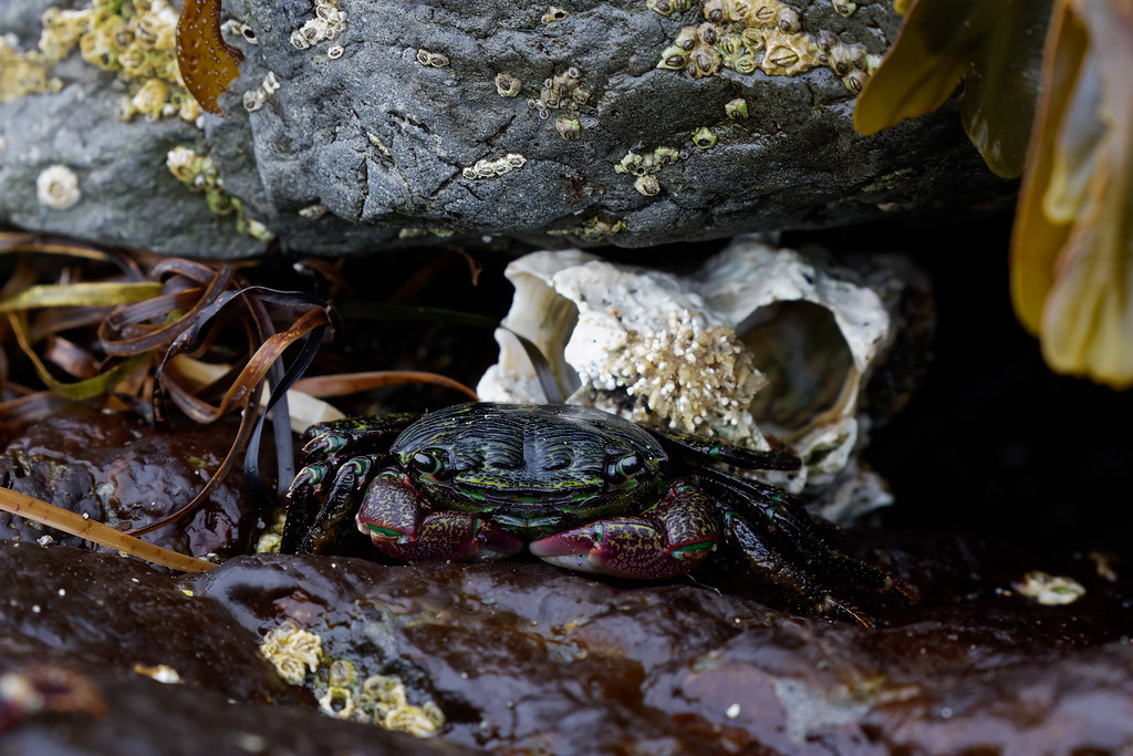 A lined shore crab sits on damp rocks in front of barnacle shells