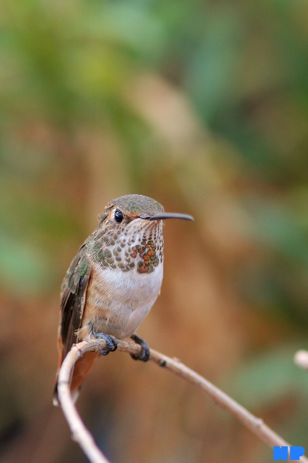 Allen's Hummingbird 101112-5