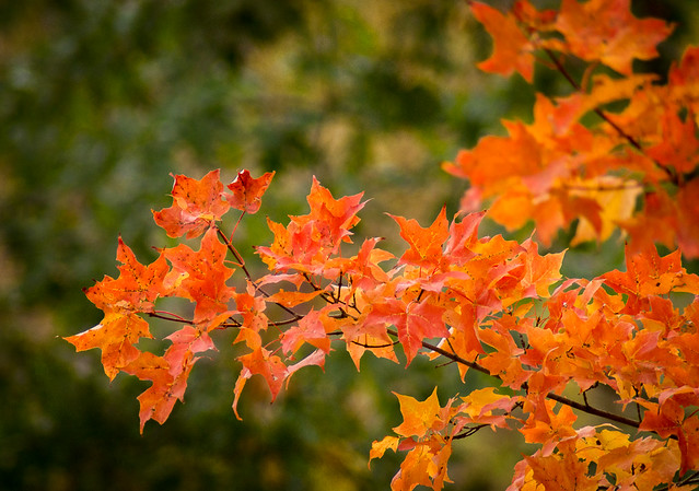 Autumn, Fall, Leaves, Maple, Colors