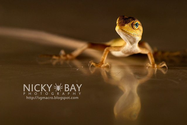 Changeable Lizard (Calotes versicolor) - DSC_7892