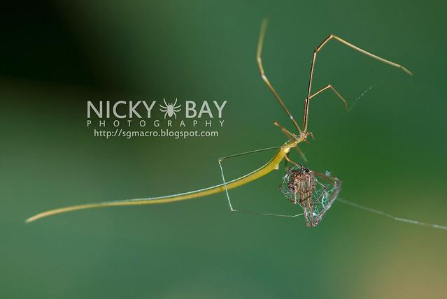 Whip Spider? (Ariamnes flagellum) - DSC_7276