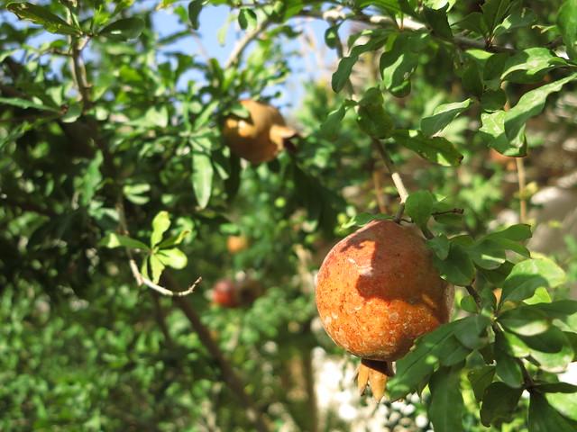 pomegranate tree granatapfel obst fruit pflanze iran. Black Bedroom Furniture Sets. Home Design Ideas