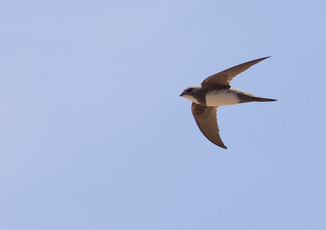 Alpine swift 4
