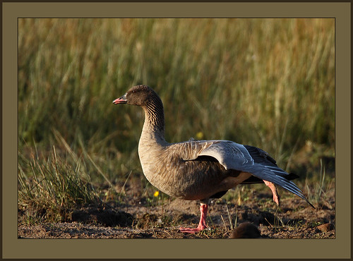 Pink-footed Goose stretching