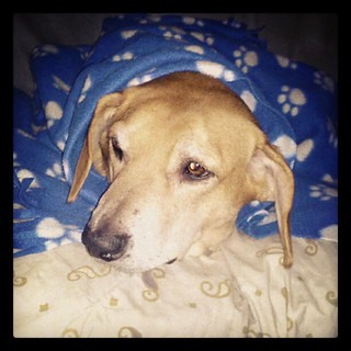 A #hound girl and her blankie watching #sunday #football   #dogs #dogstagram #instadog #rescue #adoptdontshop