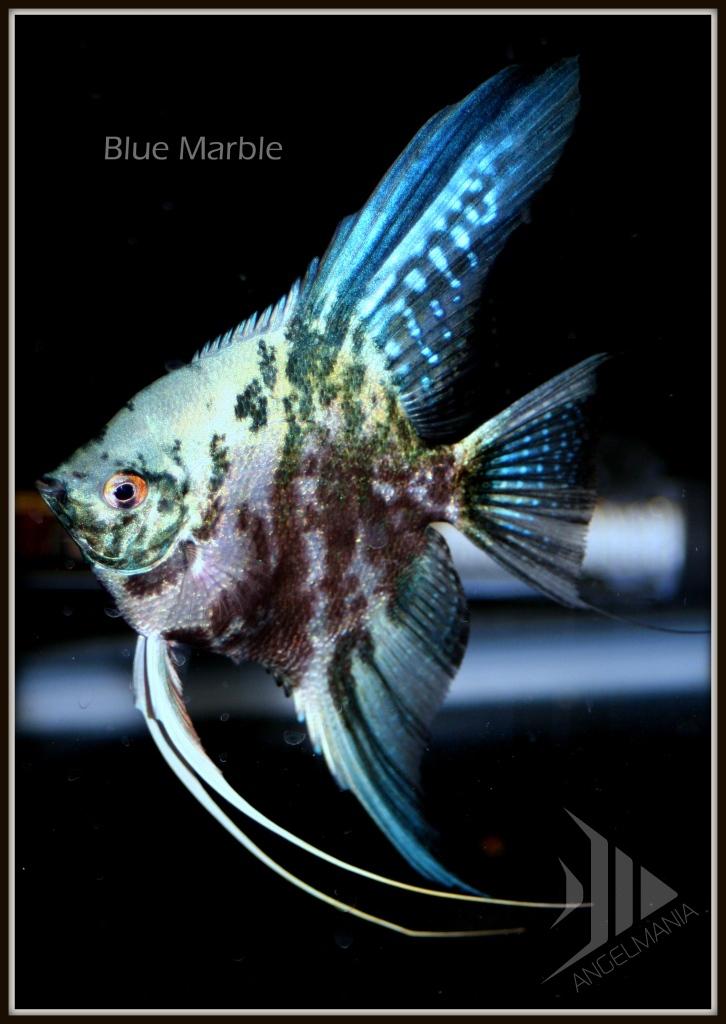 Electric blue marble freshwater aquarium angelfish fish for Blue freshwater fish