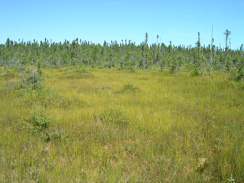 Small cranberry (Vaccinium oxycoccos) ocuurs in peat lands such as the Fall River Patterned Fen on the Superior National Forest in northeastern Minnesota. Photo by Jack Greenlee.
