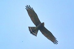里德、水蛙窟生態旅遊-灰面鵟鷹。屏科大森林系提供