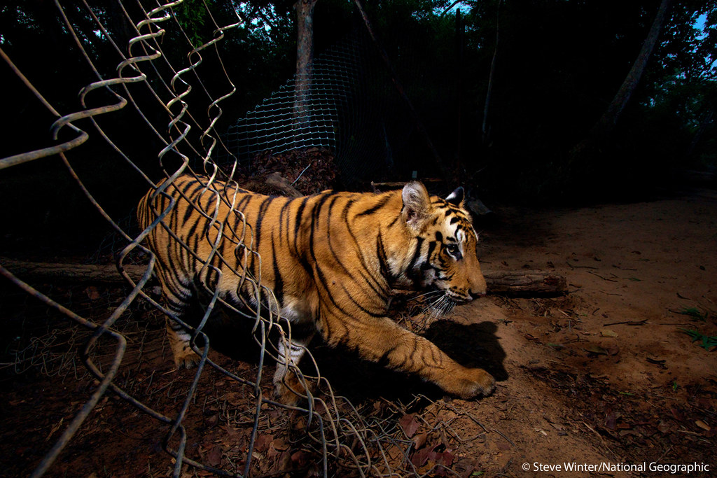 A young tiger slips through a fence in Bandhavgarh National Park - India