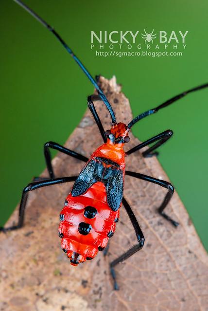Plant Bug? (Miridae?) - DSC_3224