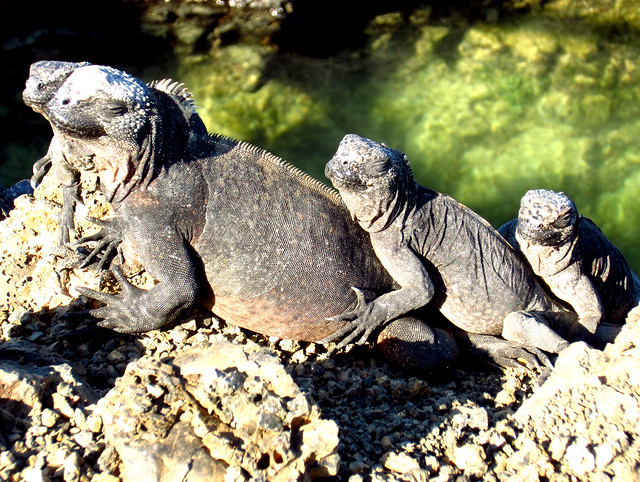 Iguanas on the Galapagos Islands
