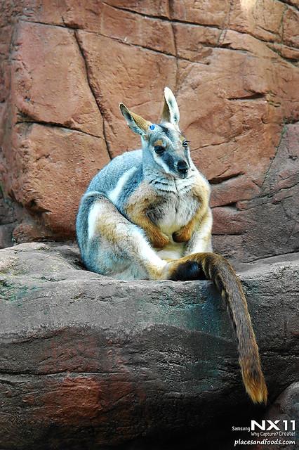 WILD LIFE Sydney Zoo yellow foot wallaby