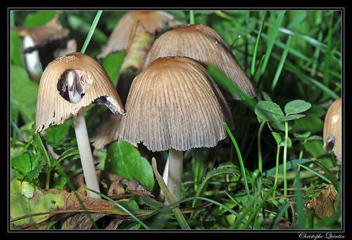 Coprinus sp. (Coprinus micaceus ?)