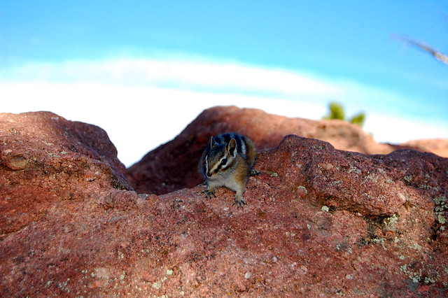 Chipmunk - First Summit - Hiking at Green Mountain, Boulder, CO