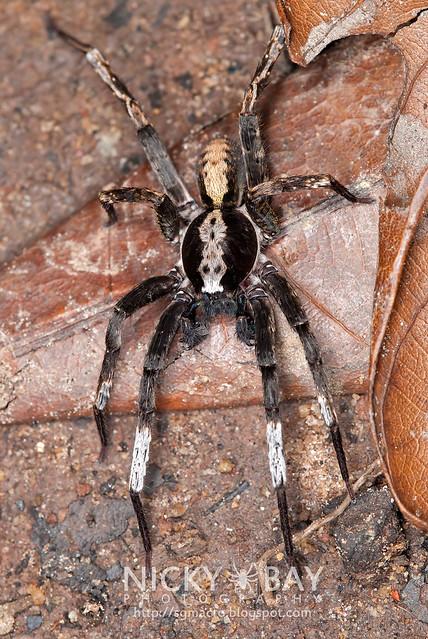 Wandering Spider (Ctenidae) - DSC_1040