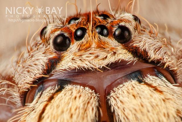 Huntsman Spider (Sparassidae) - DSC_0598