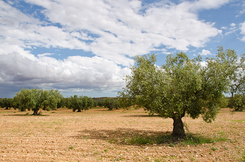 Olive tree in a field