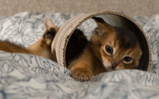 Recent Photos The Commons Getty Collection Galleries World Map App ... Usual Abyssinian Kittens