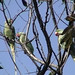Small photo of Alexandrine Parakeet at NBU