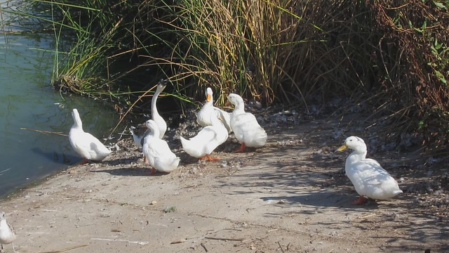 MVI_2348 LLC noisy domesicated geese