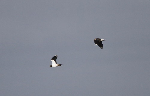 Northern Lapwings 2 flt bright Oct. 31, 12