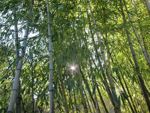 Hakone Japanese Gardens, Saratoga, CA, bamb… IMG_2330