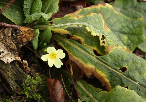 Very early primrose by Helen in Wales